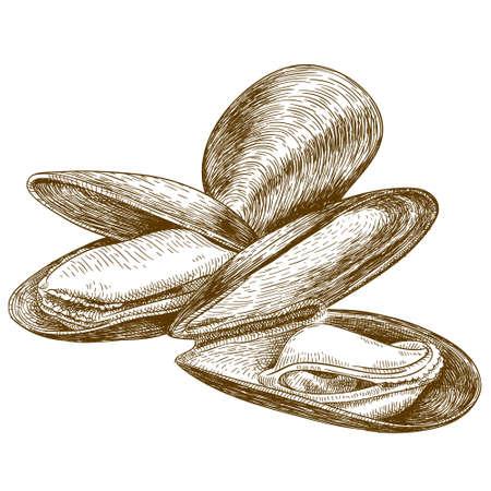 彫刻の非常に詳細な手描き下ろしムール貝の白い背景で隔離のイラスト ベクター