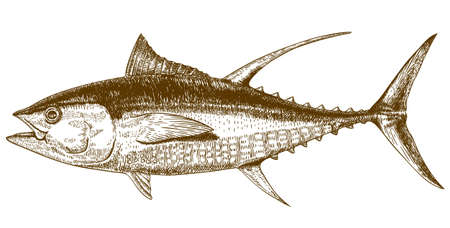 Vector engraving illustration of highly detailed hand drawn tuna isolated on white background Vettoriali