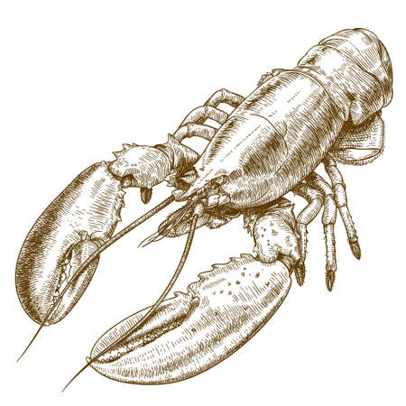food illustration: Vector engraving illustration of  highly detailed hand drawn lobster isolated on white background