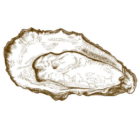 midsection: Vector engraving  illustration of  highly detailed hand drawn oyster isolated on white background Illustration