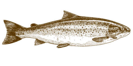 cross hatching: Vector engraving illustration of highly detailed hand drawn trout isolated on white background
