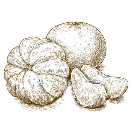 Vector engraving illustration of highly detailed hand drawn tangerine isolated on white background Stock Illustratie