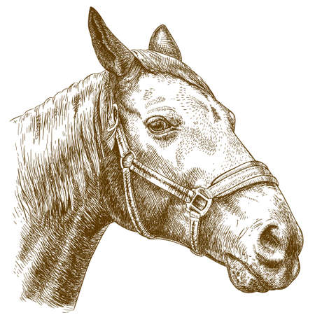 Vector engraving illustration of highly detailed hand drawn horse head isolated on white background Illustration