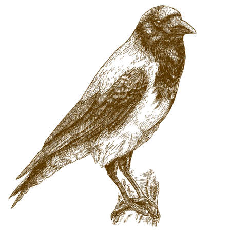 crow: Vector engraving illustration of highly detailed hand drawn crow isolated on white background