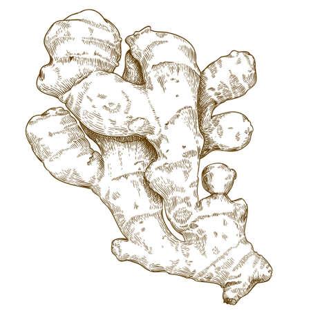 Vector gravure illustration de racine de gingembre dessiné à la main isolé sur fond blanc Vecteurs
