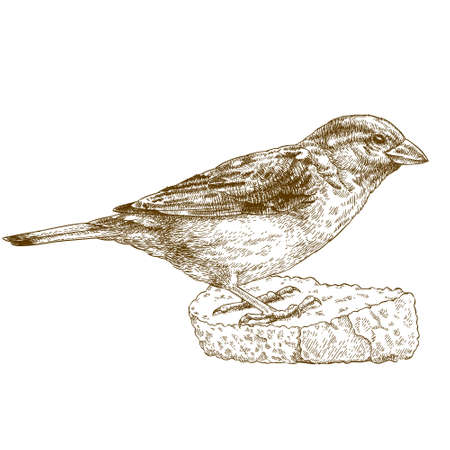 Vector engraving illustration of highly detailed hand drawn sparrow isolated on white background