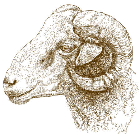 Vector engraving illustration of highly detailed hand drawn ram head isolated on white background Illustration