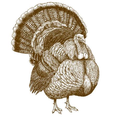 pavo: Vector grabado ilustración de alto nivel de detalle de pavo dibujado a mano aislado sobre fondo blanco