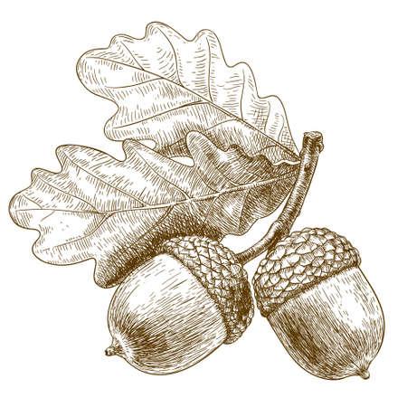 roble arbol: Vector grabado ilustración de bellota dibujado a mano muy detallado aislado en el fondo blanco Vectores