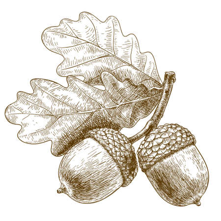 Vector engraving illustration of highly detailed hand drawn acorn isolated on white background