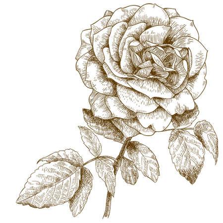 Vector graveren illustratie van zeer gedetailleerde hand getrokken rese op een witte achtergrond Stock Illustratie