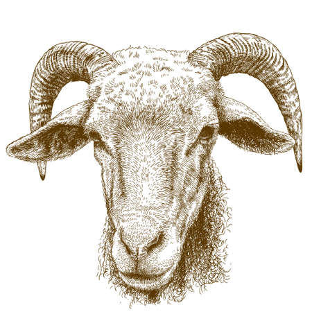 hoofed mammal: Vector engraving illustration of hand drawn ram head isolated on white background