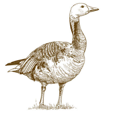ducks: Vector antique engraving illustration of goose isolated on white background