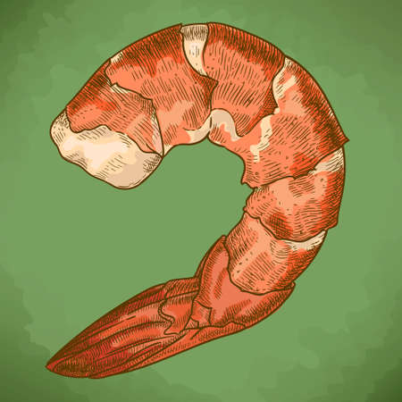 Vector engraving illustration of highly detailed hand drawn shrimp in retro style
