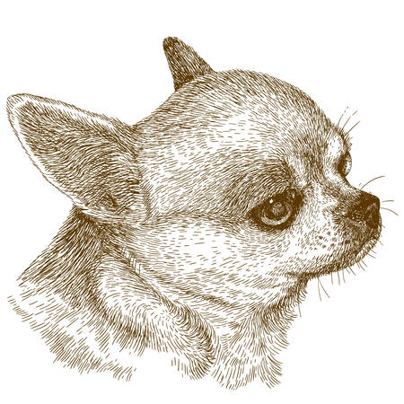 chihuahua dog: Vector antique engraving illustration of chihuahua head isolated on white background Illustration
