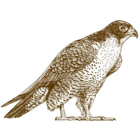 Vector antiken Stich Illustration der Falken isoliert auf weißem Hintergrund