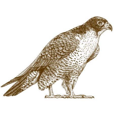 Vector antique engraving illustration of falcon isolated on white background Ilustração
