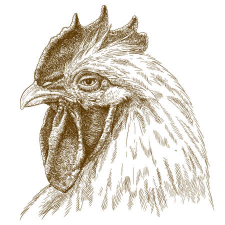 Vector antique engraving illustration of rooster head isolated on white background Vectores