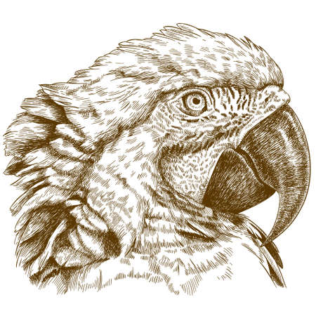macaw: Vector antique engraving illustration of macaw head isolated on white background