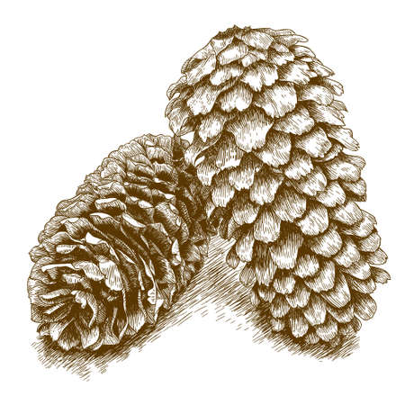 botanics: Vector antique engraving illustration of two pine cones isolated on white background Illustration