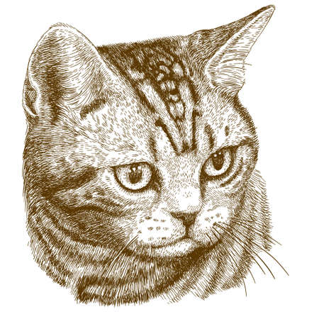 Vector antique engraving illustration of cat head isolated on white background