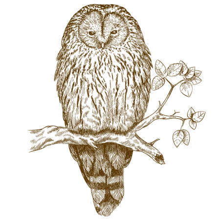 pencil drawing: antique engraving illustration of owl isolated on white background