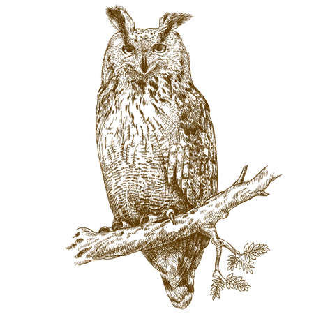 antique engraving illustration of owl on a branch isolated on white background
