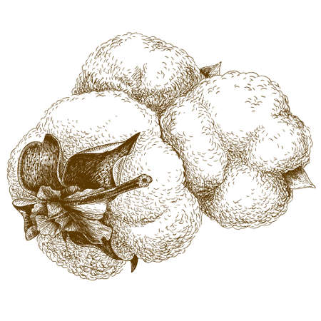 antique engraving illustration of cotton isolated on white background