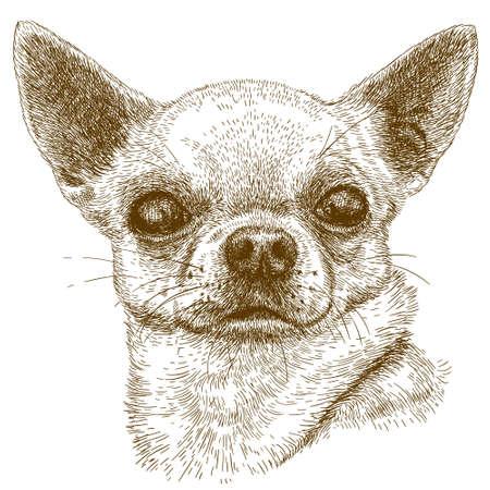 antieke gravure illustratie van chihuahua hoofd op een witte achtergrond