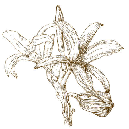 tiger lily: antique engraving illustration of lily flower isolated on white background