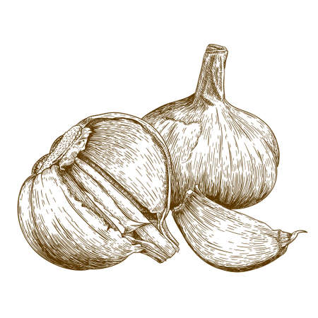 art product: antique engraving illustration of garlic isolated on white background