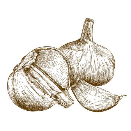 antique engraving illustration of garlic isolated on white background