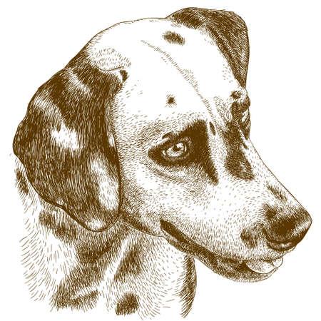 antieke gravure illustratie van Dalmatische hoofd op een witte achtergrond
