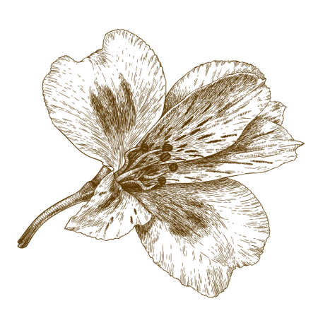 tiger lily: antique engraving illustration of alstroemeria flower isolated on white background