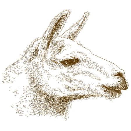 antique engraving illustration of lama head isolated on white background