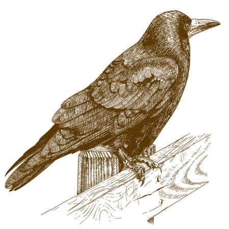 passerine: antique engraving illustration of raven isolated on white background