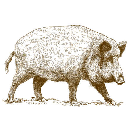 antique engraving illustration of wild boar isolated on white background Vectores