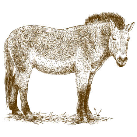 antique engraving illustration of Przewalski horse isolated on white background