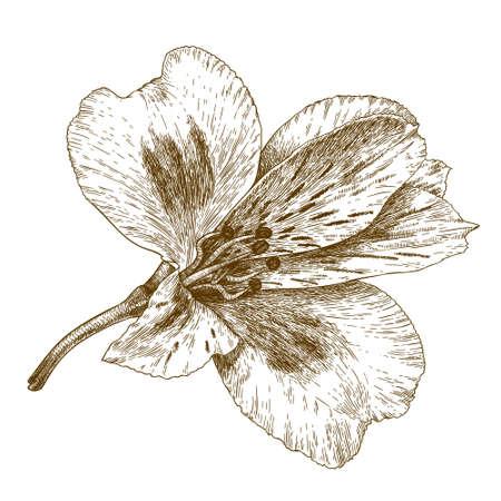 antique engraving illustration of alstroemeria flower isolated on white background