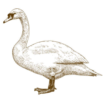 mute swan: antique engraving illustration of swan isolated on white background