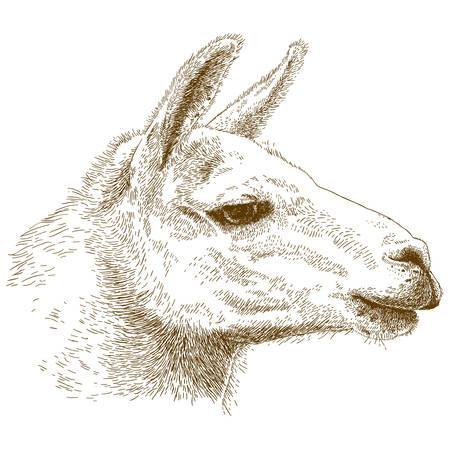 hoofed mammal: antique engraving illustration of lama head isolated on white background
