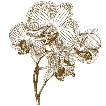 antiken Stich Illustration der Orchidee isoliert auf weißem Hintergrund