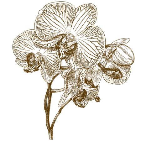 orchid isolated: antique engraving illustration of orchid isolated on white background Illustration