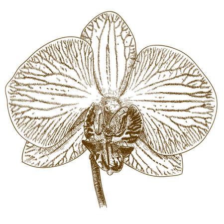 antique engraving illustration of phalaenopsis flower isolated on white background Çizim