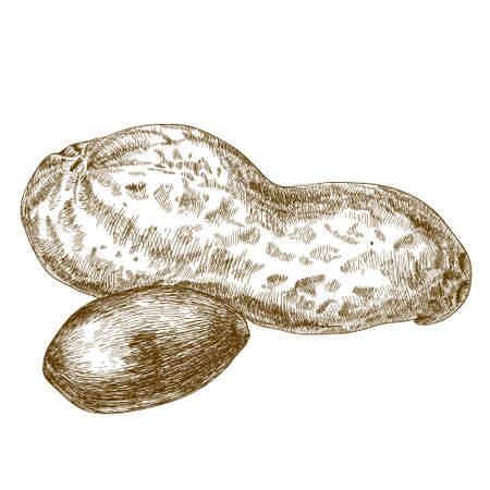antique engraving illustration of peanuts pod isolated on white background