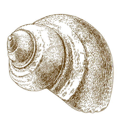 aging process: antique engraving illustration of snail shell isolated on white background