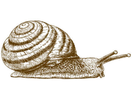 gastropod: Vector antique engraving illustration of snail isolated on white background Illustration