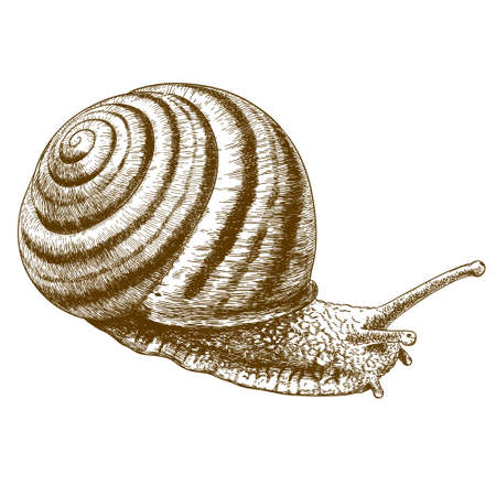 gastropod: antique engraving illustration of striped snail isolated on white background Illustration