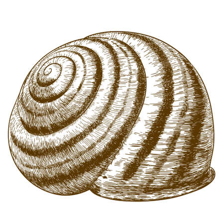 slow food: antique engraving illustration of striped snail shell isolated on white background Illustration