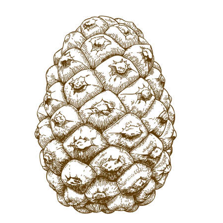 antique engraving illustration of cedar cones isolated on white background Illustration